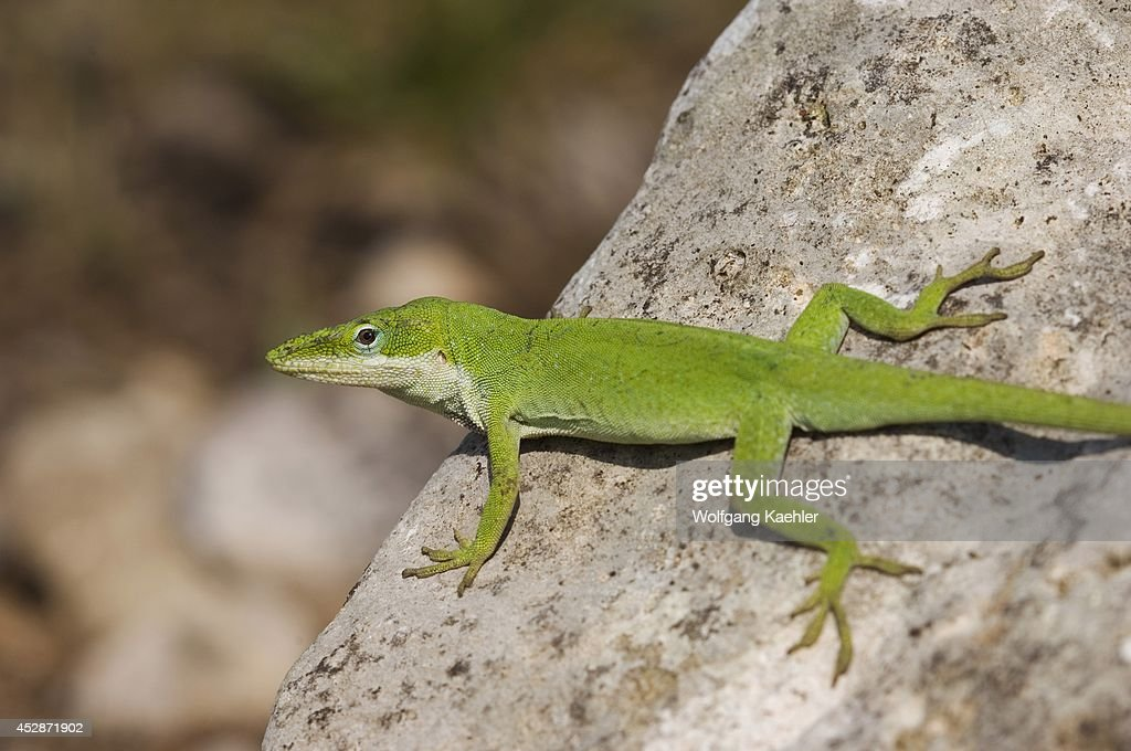 USA Texas Hill Country Near Hunt Green Anole On Rock