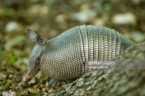 USA Texas Hill Country Near Hunt Ninebanded Armadillo