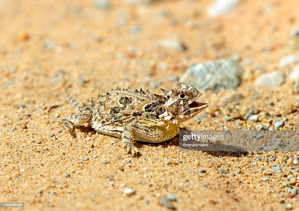 Texas horned lizard : Stock Photo