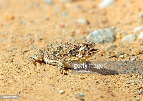 Texas horned lizard : Stock Photo