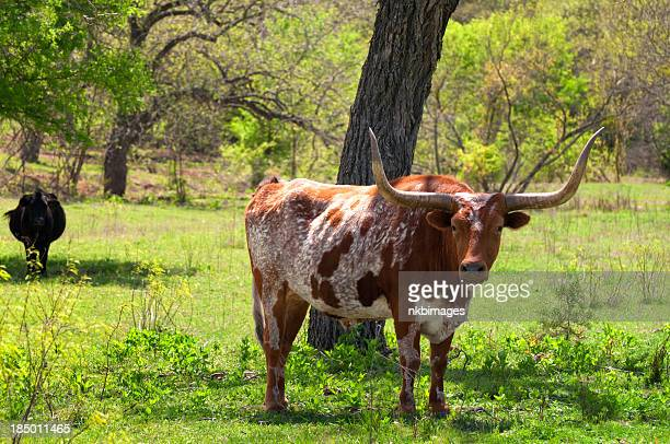 Texas Longhorn cattle in field on a spring day