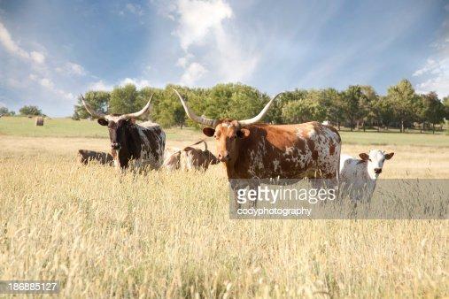 Texas Longhorn Herd In Field