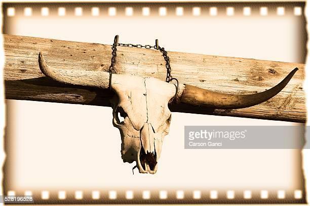 Texas Longhorn Skull