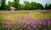 Texas wildflower field with old barn in background
