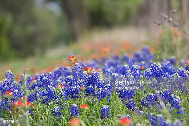 Texas wildflowers in bloom