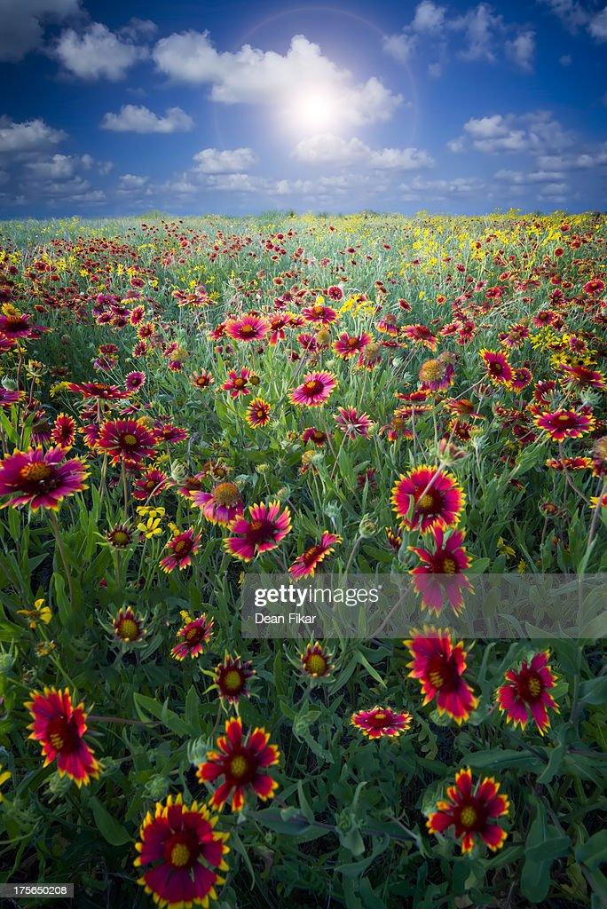 Texas wildflowers : Stock Photo