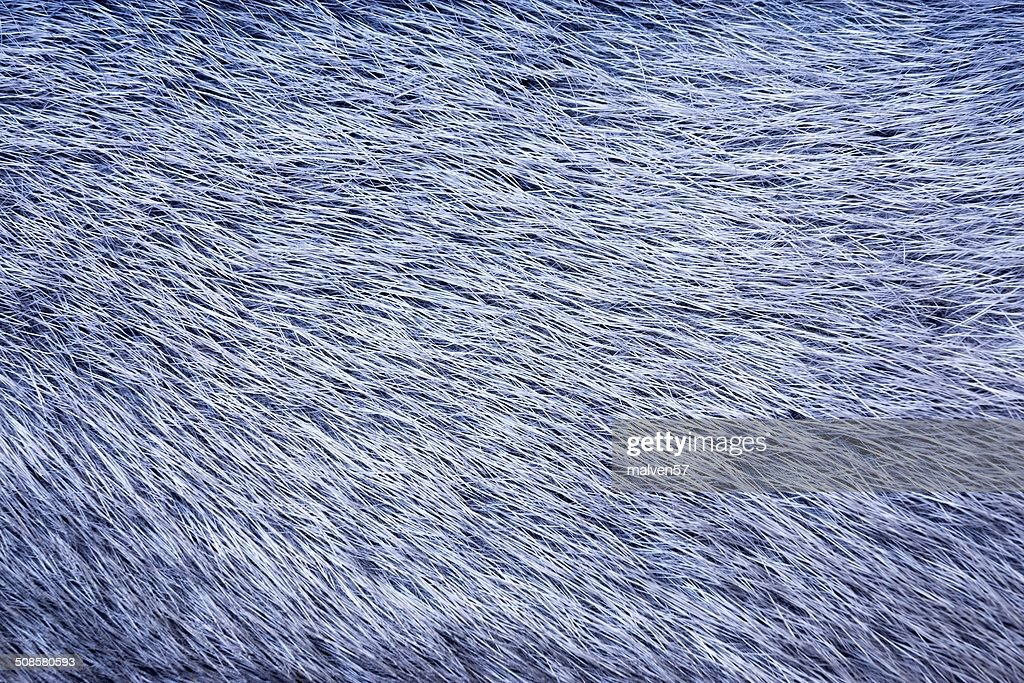 texture from fur of blue color : Stock Photo