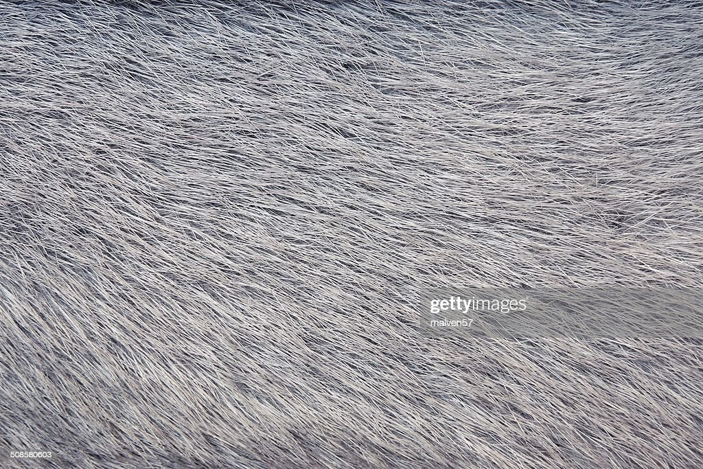texture from fur of gray-haired color : Stock Photo
