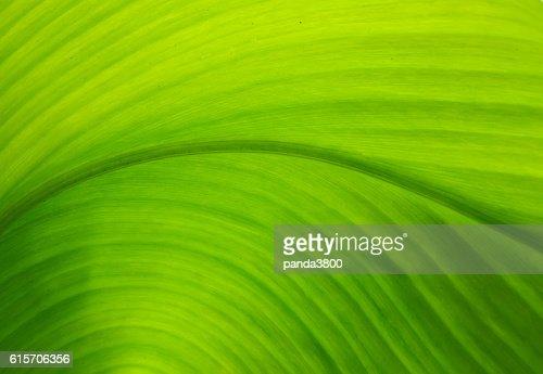 Textur des grünen Blatt als Hintergrund.   : Stock-Foto