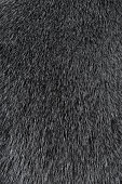 Texture of Smooth animal gray hair close up