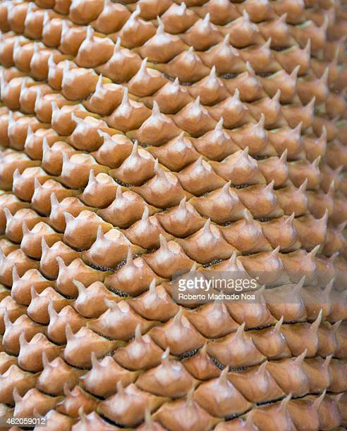 Texture or pattern of a variety of tropical tree trunk