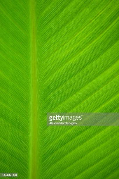 Texture Shown on Green Palm Leaf