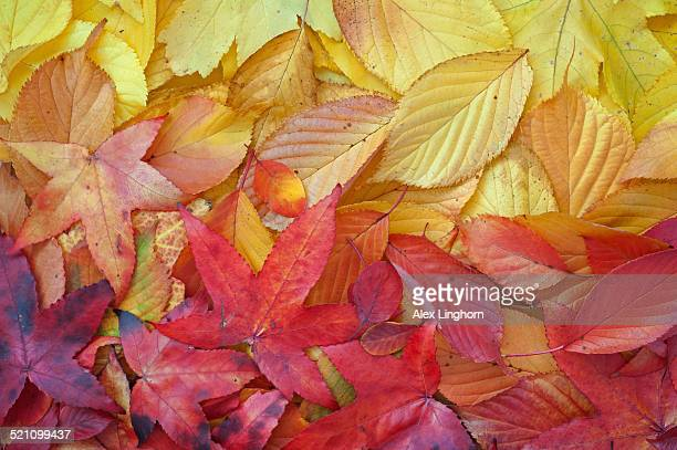 Textures and colours of a variety of Autumn leaves