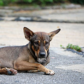 It is a dog that lives on the streets or temple and does not have an owner.