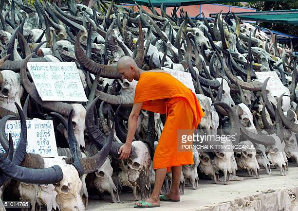 Thai Buddhist monk adjusts one of the skulls of water buffalos displayed at a Buddhist temple in suburban Bangkok 01 July 2004 Thousands of water...