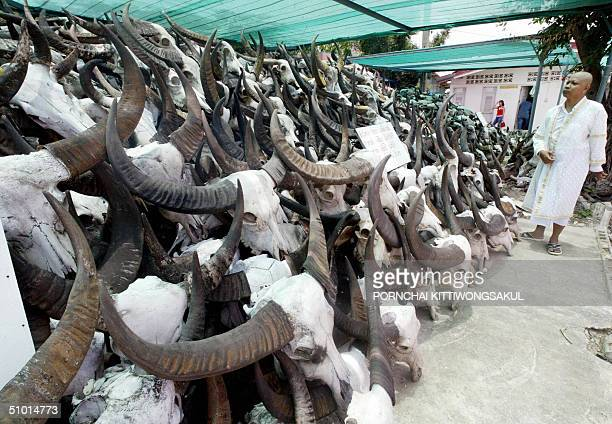 Thai Buddhist monk looks at the skulls of water buffalos displayed at a Buddhist temple in suburban Bangkok 01 July 2004 Thousands of water buffalo...