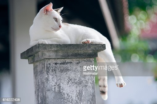 thai cat has sitting on pillar with blurred background : Stock Photo