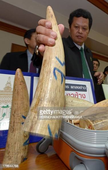 A Thai custom official displays confiscated elephant tusks during a press conference at the customs office in Bangkok on August 30 2013 Thai...