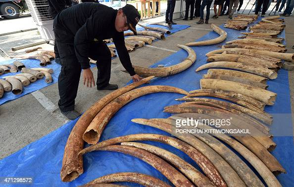 A Thai customs officer inspects confiscated elephant tusks during a press conference at the Customs Bureau in Bangkok on April 27 2015 Thai customs...