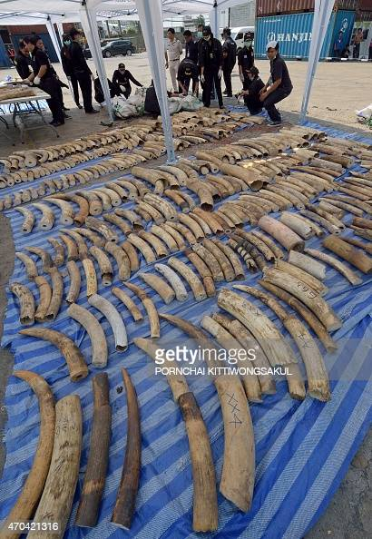 Thai customs officers arrange confiscated elephant tusks during a press conference at the Customs Bureau in Bangkok on April 20 2015 Thai customs...