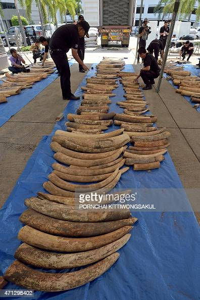 Thai customs officers inspect confiscated elephant tusks during a press conference at the Customs Bureau in Bangkok on April 27 2015 Thai customs...