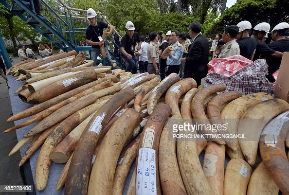 Thai Department of National Parks workers display pieces of ivory during a destruction of confiscated ivory exercise at the Department of National...