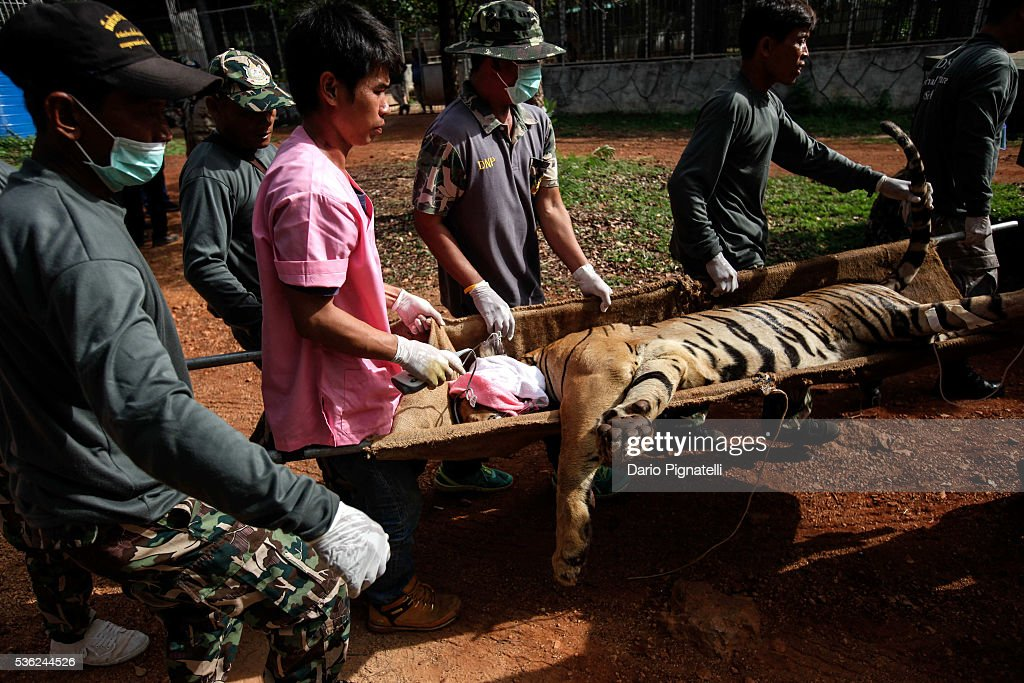 Thai DNP officers carry a sedated tiger at the Wat Pha Luang Ta Bua Tiger Temple on June 1, 2016, in Kanchanaburi province, Thailand. Wildlife authorities in Thailand raided a Buddhist temple in Kanchanaburi province where 137 tigers were kept, following accusations the monks were illegally breeding and trafficking endangered animals. Forty of the 137 tigers were rescued by Tuesday from the country's infamous 'Tiger Temple' despite opposition from the temple authorities.