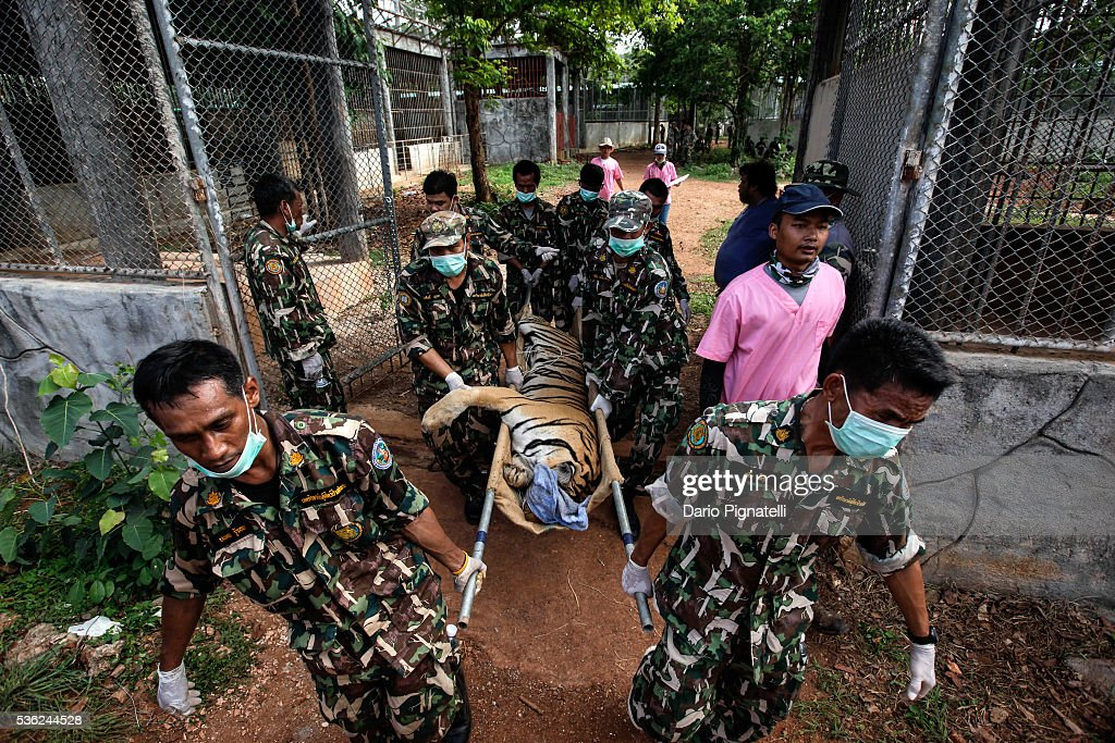 Thai DNP officers carry a sedated tiger outside its cage at the Wat Pha Luang Ta Bua Tiger Temple on June 1, 2016, in Kanchanaburi province, Thailand. Wildlife authorities in Thailand raided a Buddhist temple in Kanchanaburi province where 137 tigers were kept, following accusations the monks were illegally breeding and trafficking endangered animals. Forty of the 137 tigers were rescued by Tuesday from the country's infamous 'Tiger Temple' despite opposition from the temple authorities.
