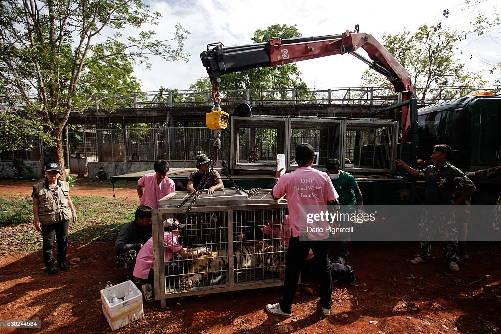 Thai DNP officers load a sedated tiger onto a truck at the Wat Pha Luang Ta Bua Tiger Temple on June 1, 2016, in Kanchanaburi province, Thailand. Wildlife authorities in Thailand raided a Buddhist temple in Kanchanaburi province where 137 tigers were kept, following accusations the monks were illegally breeding and trafficking endangered animals. Forty of the 137 tigers were rescued by Tuesday from the country's infamous 'Tiger Temple' despite opposition from the temple authorities.