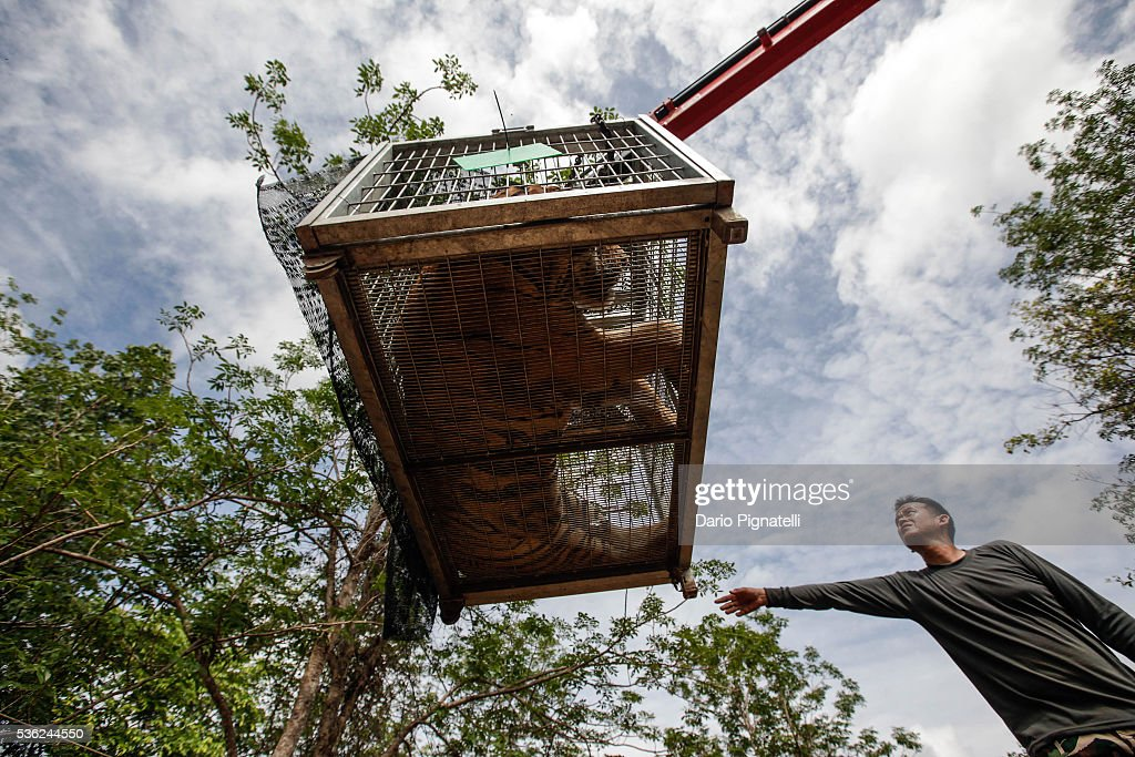 Thai DNP officers load a sedated tiger onto a truck at the Wat Pha Luang Ta Bua Tiger Temple on June 1, 2016 in Kanchanaburi province, Thailand. Wildlife authorities in Thailand raided a Buddhist temple in Kanchanaburi province where 137 tigers were kept, following accusations the monks were illegally breeding and trafficking endangered animals. Forty of the 137 tigers were rescued by Tuesday from the country's infamous 'Tiger Temple' despite opposition from the temple authorities.