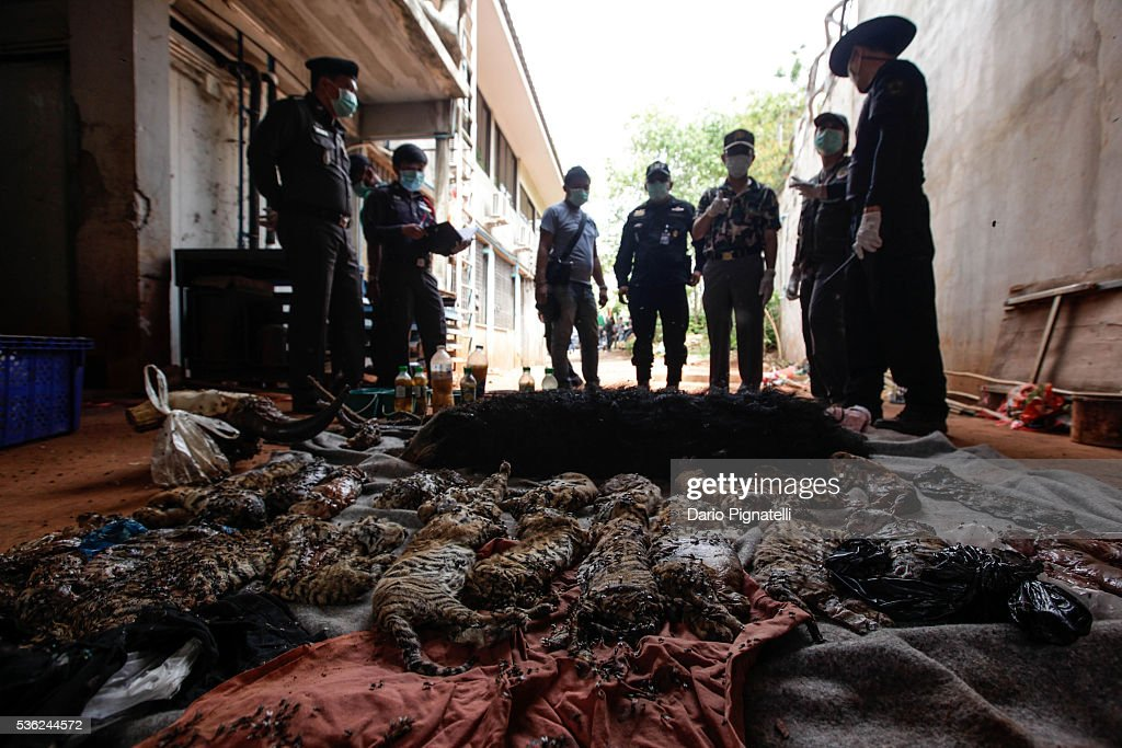 Thai DNP officers observe the carcasses of 40 tiger cubs and a bear found undeclared at the Wat Pha Luang Ta Bua Tiger Temple on June 1, 2016 in Kanchanaburi province, Thailand. Wildlife authorities in Thailand raided a Buddhist temple in Kanchanaburi province where 137 tigers were kept, following accusations the monks were illegally breeding and trafficking endangered animals. Forty of the 137 tigers were rescued by Tuesday from the country's infamous 'Tiger Temple' despite opposition from the temple authorities.