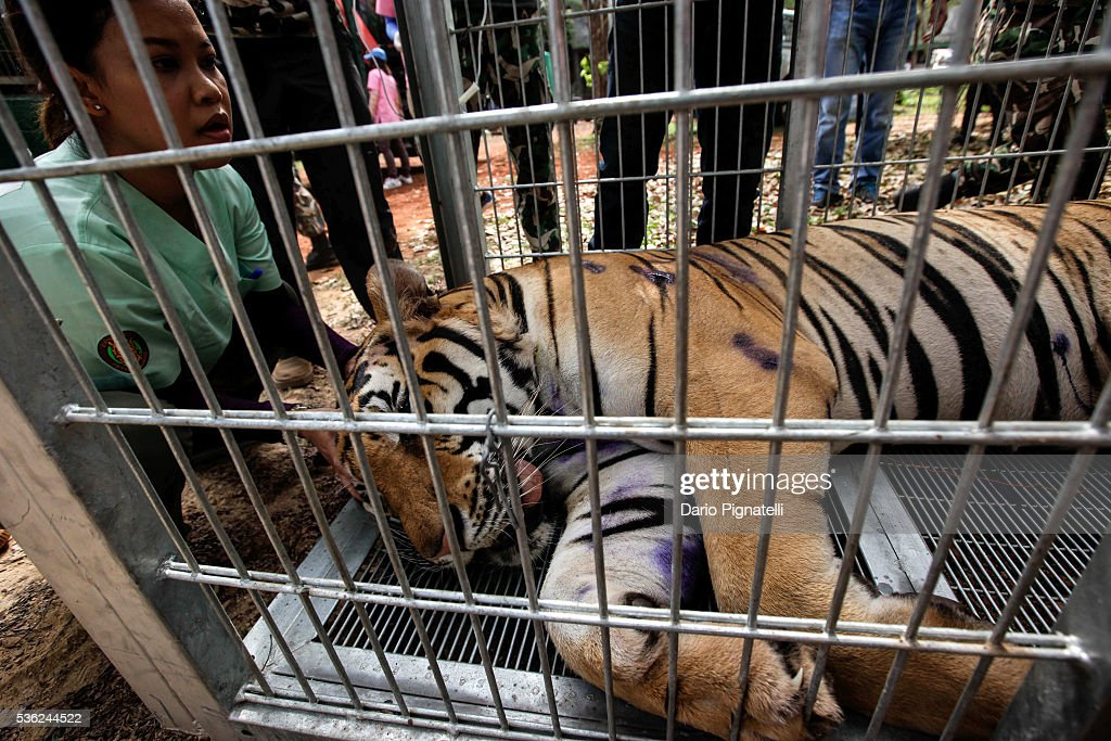 A Thai DNP veterinarian officer assists a sedated tiger at the Wat Pha Luang Ta Bua Tiger Temple on June 1, 2016, in Kanchanaburi province, Thailand. Wildlife authorities in Thailand raided a Buddhist temple in Kanchanaburi province where 137 tigers were kept, following accusations the monks were illegally breeding and trafficking endangered animals. Forty of the 137 tigers were rescued by Tuesday from the country's infamous 'Tiger Temple' despite opposition from the temple authorities.