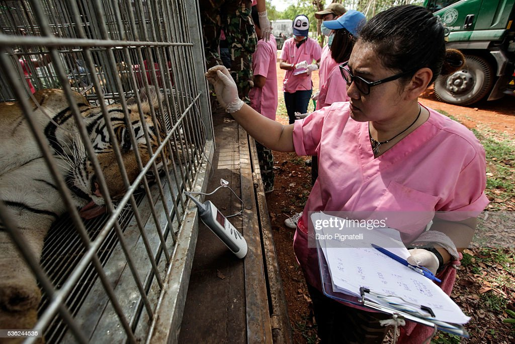 A Thai DNP veterinarian officer checks a tiger's temperature at the Wat Pha Luang Ta Bua Tiger Temple on June 1, 2016 in Kanchanaburi province, Thailand. Wildlife authorities in Thailand raided a Buddhist temple in Kanchanaburi province where 137 tigers were kept, following accusations the monks were illegally breeding and trafficking endangered animals. Forty of the 137 tigers were rescued by Tuesday from the country's infamous 'Tiger Temple' despite opposition from the temple authorities.