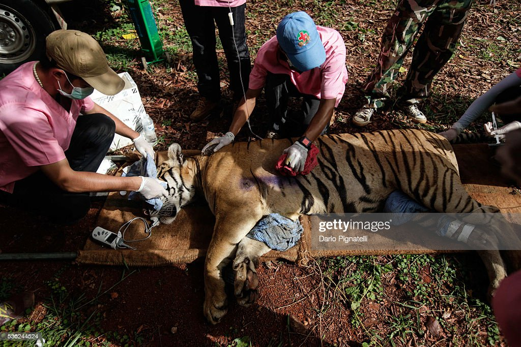 Thai DNP veterinarian officers tend to a sedated tiger at the Wat Pha Luang Ta Bua Tiger Temple on June 1, 2016, in Kanchanaburi province, Thailand. Wildlife authorities in Thailand raided a Buddhist temple in Kanchanaburi province where 137 tigers were kept, following accusations the monks were illegally breeding and trafficking endangered animals. Forty of the 137 tigers were rescued by Tuesday from the country's infamous 'Tiger Temple' despite opposition from the temple authorities.