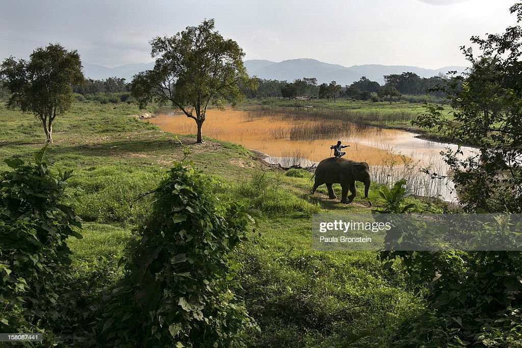 A Thai elephant and a mahout ride along the field at an elephant camp at the Anantara Golden Triangle resort on December 10, 2012 in Golden Triangle, northern Thailand. Black Ivory Coffee, started by Canadian coffee expert Blake Dinkin, is made from Thai arabica hand picked beans. The coffee is created from a process whereby coffee beans are naturally refined by a Thai elephant. It takes about 15-30 hours for the elephant to digest the beans, and later they are plucked from their dung and washed and roasted. Approximately 10,000 beans are picked to produce 1kg of roasted coffee. At USD 1,100 per kilogram or USD 500 per pound, the cost per serving of the elephant coffee equals USD 50, making the exotic new brew the world's priciest. It takes 33 kilograms of raw coffee cherries to produce 1 kilo of Black Ivory Coffee.