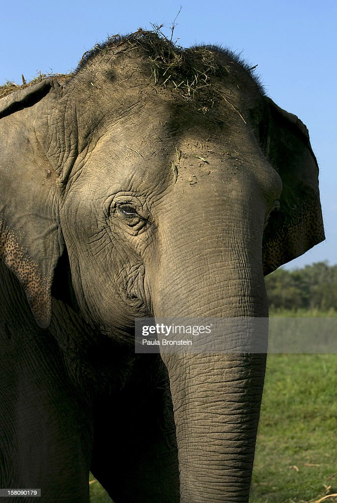 A Thai elephant is seen at an elephant camp at the Anantara Golden Triangle resort on December 10, 2012 in Golden Triangle, northern Thailand. Black Ivory Coffee, started by Canadian coffee expert Blake Dinkin, is made from Thai arabica hand picked beans. The coffee is created from a process whereby coffee beans are naturally refined by a Thai elephant. It takes about 15-30 hours for the elephant to digest the beans, and later they are plucked from their dung and washed and roasted. Approximately 10,000 beans are picked to produce 1kg of roasted coffee. At USD 1,100 per kilogram or USD 500 per pound, the cost per serving of the elephant coffee equals USD 50, making the exotic new brew the world's priciest. It takes 33 kilograms of raw coffee cherries to produce 1 kilo of Black Ivory Coffee.