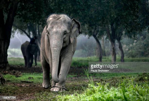 Thai elephant walks in the jungle in the early morning fog at an elephant camp at the Anantara Golden Triangle resort on December 9 2012 in Golden...