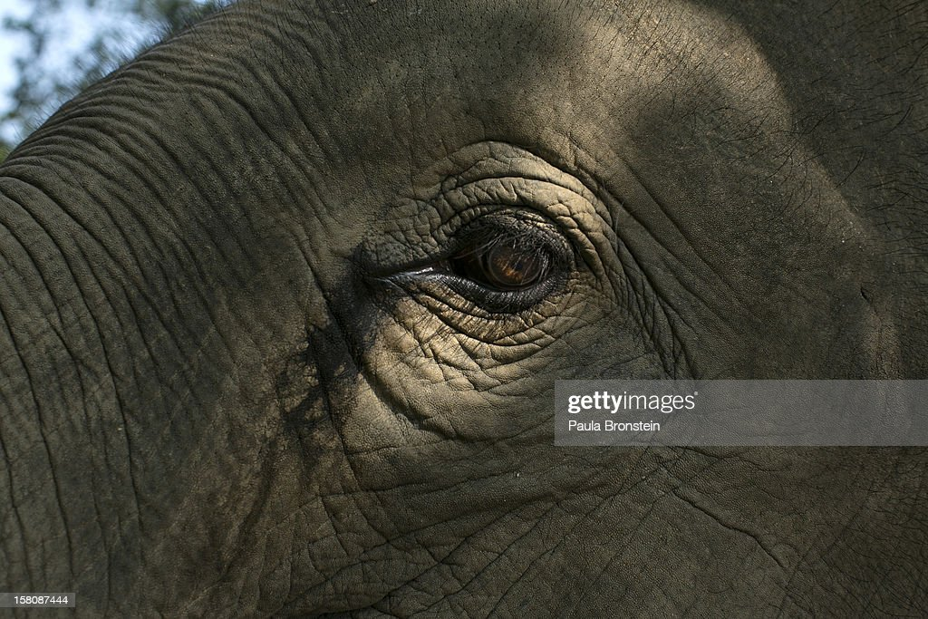 A Thai elephant's eye is caught by the sunlight at an elephant camp at the Anantara Golden Triangle resort on December 10, 2012 in Golden Triangle, northern Thailand. Black Ivory Coffee, started by Canadian coffee expert Blake Dinkin, is made from Thai arabica hand picked beans. The coffee is created from a process whereby coffee beans are naturally refined by a Thai elephant. It takes about 15-30 hours for the elephant to digest the beans, and later they are plucked from their dung and washed and roasted. Approximately 10,000 beans are picked to produce 1kg of roasted coffee. At USD 1,100 per kilogram or USD 500 per pound, the cost per serving of the elephant coffee equals USD 50, making the exotic new brew the world's priciest. It takes 33 kilograms of raw coffee cherries to produce 1 kilo of Black Ivory Coffee.