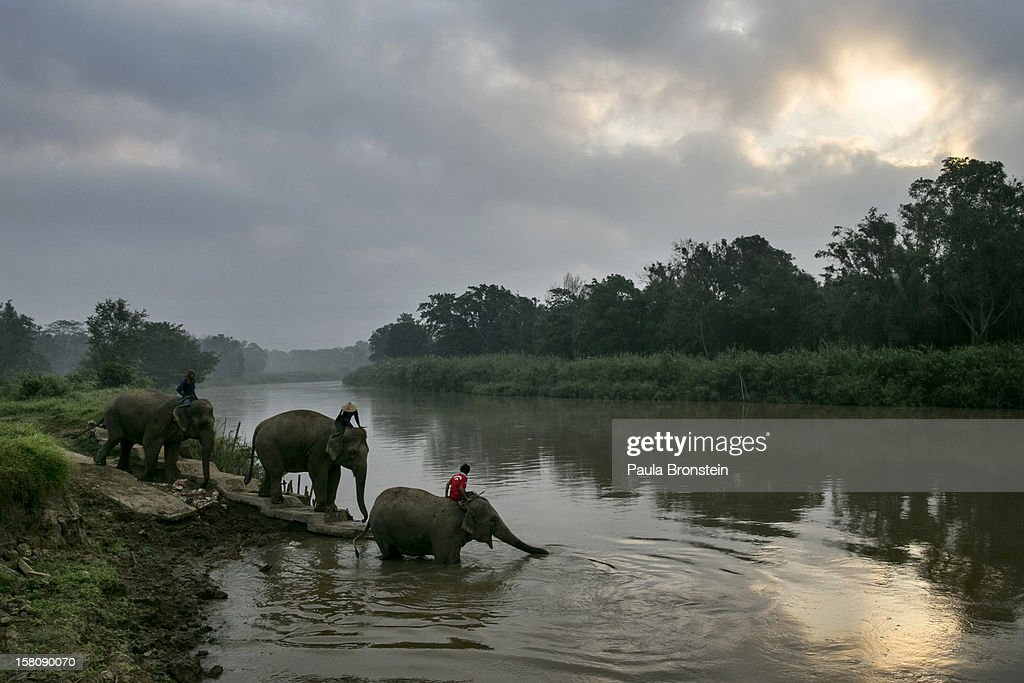 Thai elephants head to the river for an early morning bathe at an elephant camp at the Anantara Golden Triangle resort on December 10, 2012 in Golden Triangle, northern Thailand. Black Ivory Coffee, started by Canadian coffee expert Blake Dinkin, is made from Thai arabica hand picked beans. The coffee is created from a process whereby coffee beans are naturally refined by a Thai elephant. It takes about 15-30 hours for the elephant to digest the beans, and later they are plucked from their dung and washed and roasted. Approximately 10,000 beans are picked to produce 1kg of roasted coffee. At USD 1,100 per kilogram or USD 500 per pound, the cost per serving of the elephant coffee equals USD 50, making the exotic new brew the world's priciest. It takes 33 kilograms of raw coffee cherries to produce 1 kilo of Black Ivory Coffee.