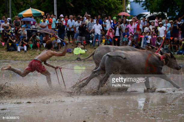 Thai farmer racer during Water Buffalo Racing Festival The annual Water Buffalo Racing Festival is a cultural heritage event initiated as a way to...