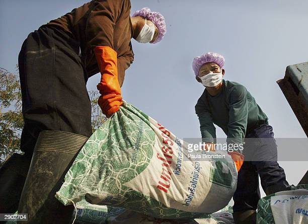 Thai military throw chickens stuffed in fertilizer bags to be buried alive onto a truck January 26 2004 in Song Phi Nong Thailand Bird Flu has...