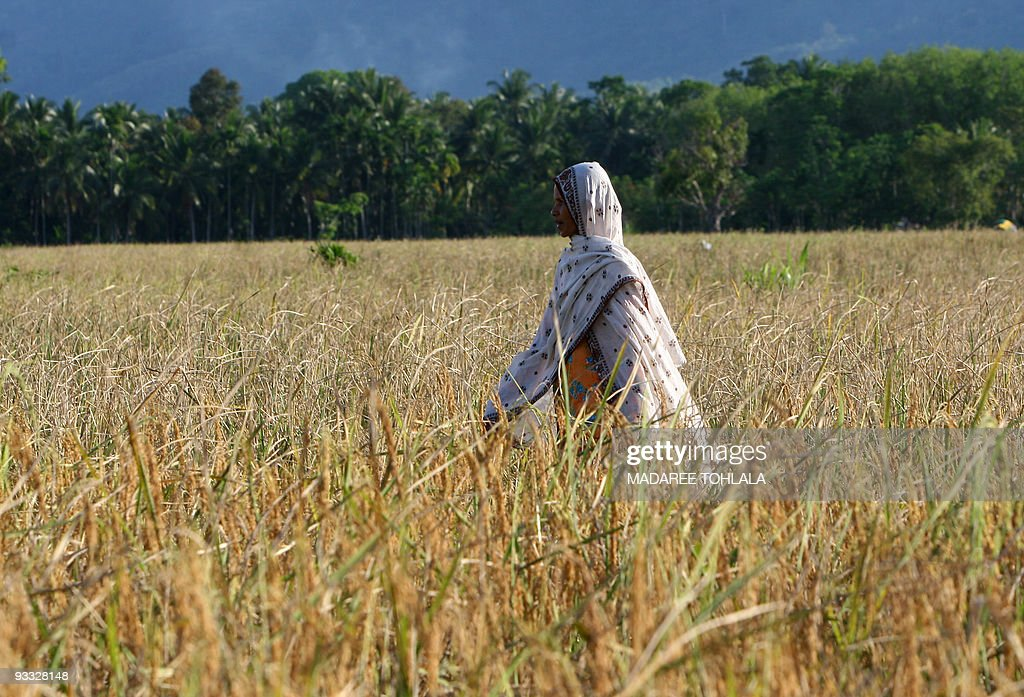 A Thai Muslim woman walks in a rice field in Thailand's violencetorn southern Narathiwat province on April 15 2008 International demand for Thai rice...