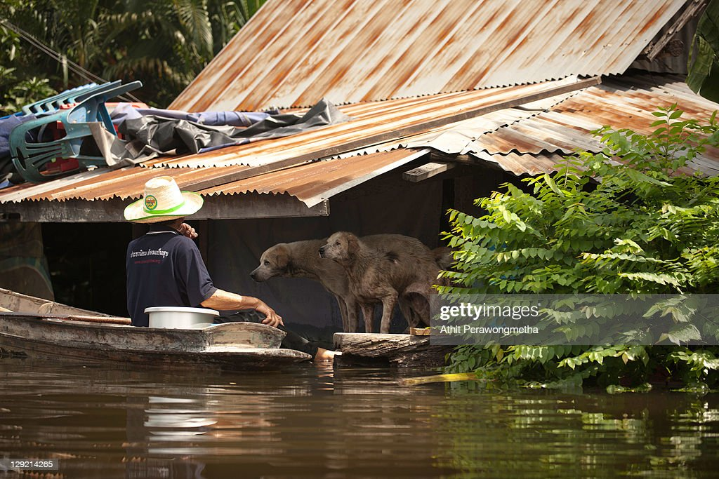 A Thai resident paddles a boat to pick up dogs as floods continue to hit Pathum Thani province, suburban Bangkok on October 14, 2011 in Pathum thani, Thailand. Crews of public workers, soldiers and volunteers are evacuating residents from flooded areas north of Bangkok as efforts continue to protect the capital from existing floodwaters combined with increased rainfall and rising tides during the worst floods to hit the country for decades.