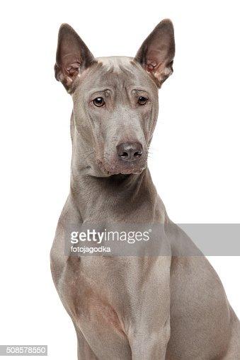 Thai Ridgeback Dog : Stock Photo