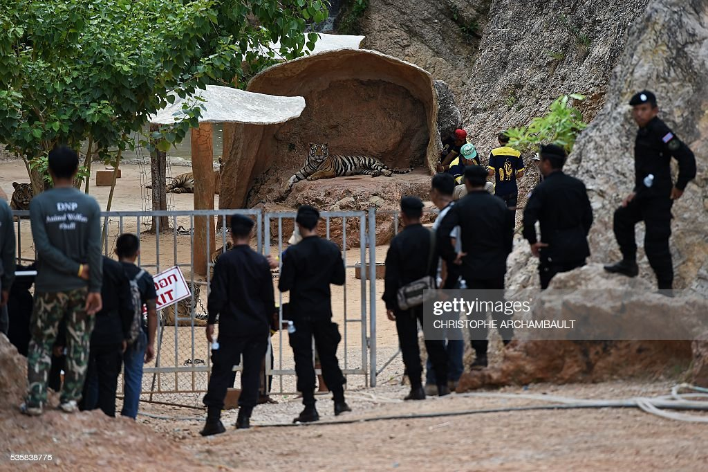 Thai wildlife officials and security forces stand outside before removing a tiger from an enclosure at the Wat Pha Luang Ta Bua Tiger Temple in Kanchanaburi province, western Thailand on May 30, 2016. Thai wildlife officials armed with a court order on May 30 resumed the treacherous process of moving tigers from a controversial temple which draws tourists as a petting zoo, but stands accused of selling off the big cats for slaughter. / AFP / CHRISTOPHE
