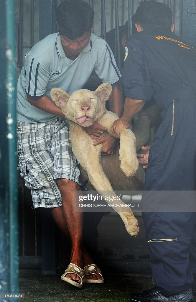 Thai wildlife officials carry a white lion out of a cage after it was anaesthetized for checks, at a house where more than 200 live wild animals including 14 white lions were discovered last week, on the outskirts of Bangkok on June 19, 2013. Police said the lions were believed to have been brought into the country using permits for sales to zoos, but instead offered to private buyers. Thailand has a reputation as a hub of international wildlife smuggling to feed strong demand in Asia for unusual pets and traditional medicines made from animal parts. AFP PHOTO / Christophe ARCHAMBAULT