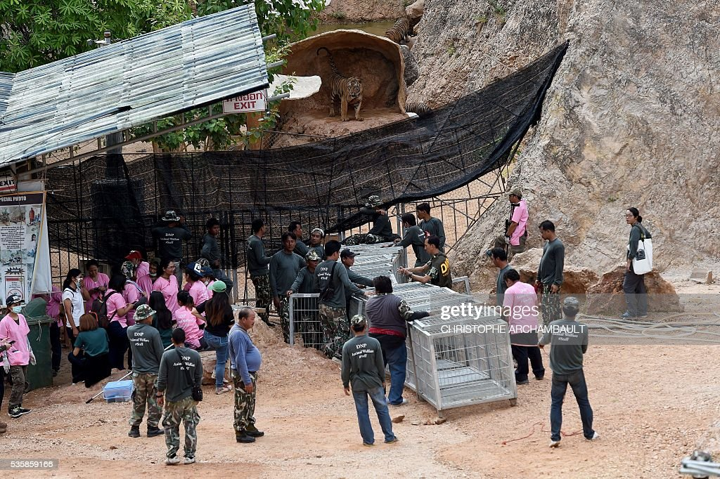 Thai wildlife officials install a tunnel of cages to capture a tiger and remove it from an enclosure at the Wat Pha Luang Ta Bua Tiger Temple in Kanchanaburi province, western Thailand on May 30, 2016. Thai wildlife officials armed with a court order on May 30 resumed the treacherous process of moving tigers from a controversial temple which draws tourists as a petting zoo, but stands accused of selling off the big cats for slaughter. / AFP / CHRISTOPHE