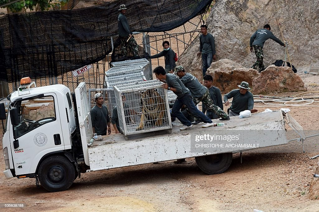 Thai wildlife officials load a cage containing a tiger onto a truck after they removed it from an enclosure at the Wat Pha Luang Ta Bua Tiger Temple in Kanchanaburi province, western Thailand on May 30, 2016. Thai wildlife officials armed with a court order on May 30 resumed the treacherous process of moving tigers from a controversial temple which draws tourists as a petting zoo, but stands accused of selling off the big cats for slaughter. / AFP / CHRISTOPHE