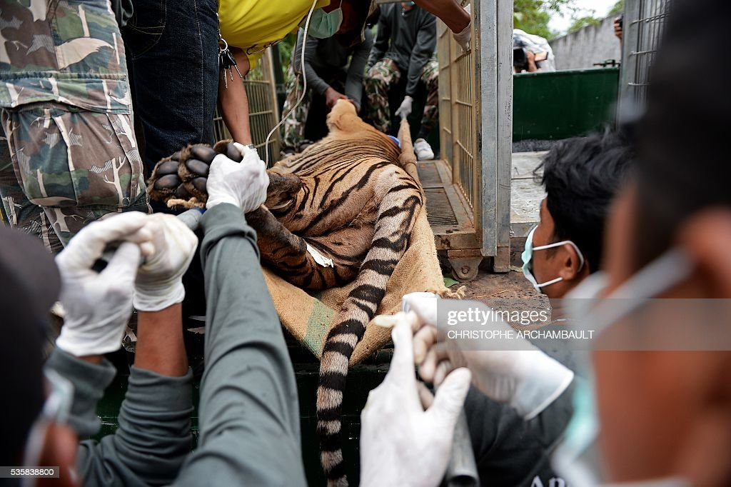 Thai wildlife officials load a tiger into a cage on a truck after they removed it from an enclosure after the tiger was anaesthetised at the Wat Pha Luang Ta Bua Tiger Temple in Kanchanaburi province, western Thailand on May 30, 2016. Thai wildlife officials armed with a court order on May 30 resumed the treacherous process of moving tigers from a controversial temple which draws tourists as a petting zoo, but stands accused of selling off the big cats for slaughter. / AFP / CHRISTOPHE