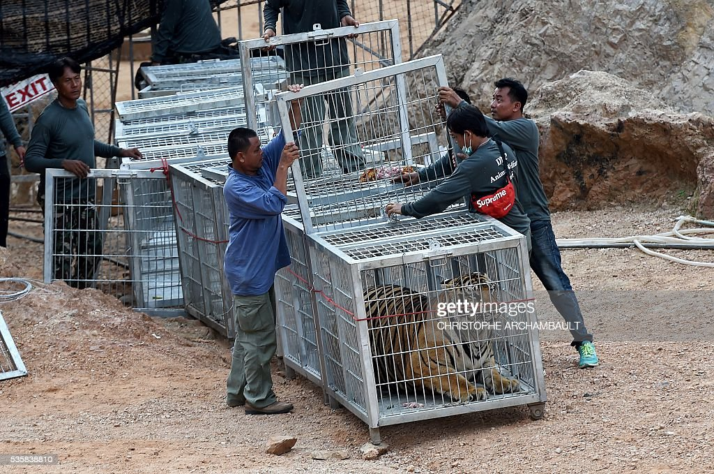Thai wildlife officials use a tunnel of cages to capture a tiger and remove it from an enclosure at the Wat Pha Luang Ta Bua Tiger Temple in Kanchanaburi province, western Thailand on May 30, 2016. Thai wildlife officials armed with a court order on May 30 resumed the treacherous process of moving tigers from a controversial temple which draws tourists as a petting zoo, but stands accused of selling off the big cats for slaughter. / AFP / CHRISTOPHE